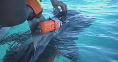 A tag on a tiger shark at Ningaloo Reef… . Credit: David Palfrey
