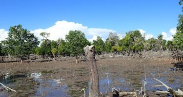 50% of the world's mangrove coverage has been lost in the past 10 years . Credit: Mat Vanderklift
