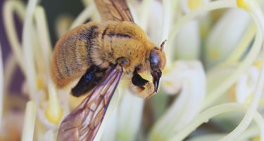 Native bee from the Xylocopa genus . Credit: Kit Prendergast, Curtin University