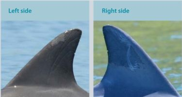 Print, an adult male first sighted in 2009. Often seen with Extreme. . Credit: Swan River Fin Book
