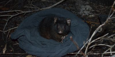 First habitat use study suggests endangered Albany possums stay close to home