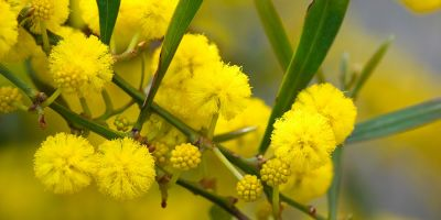 Wattle we do about climate change?