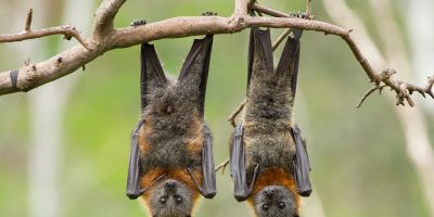 The lowdown on Perth bat caring