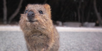 Quokka cure, not quackery