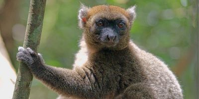 This rare bamboo-munching lemur may soon go extinct