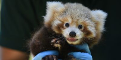 Baby red panda spells hope for the species