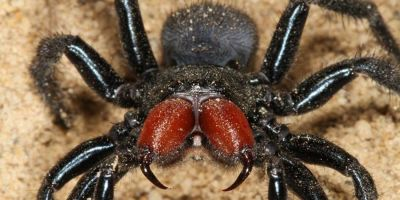 Trapdoor spiders of Perth