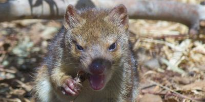 Quoll conditioning: teaching sausage-based survival skills