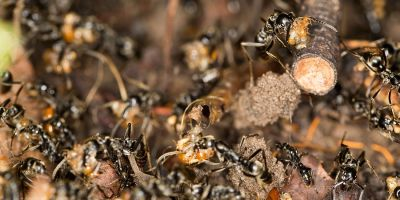Wildlife death match: ants versus termites