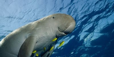 Dugongs and drones: ecology from the sky