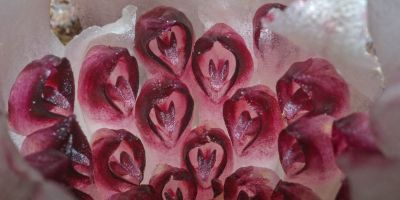 So niche you've never heard of them: meet WA's underground orchids