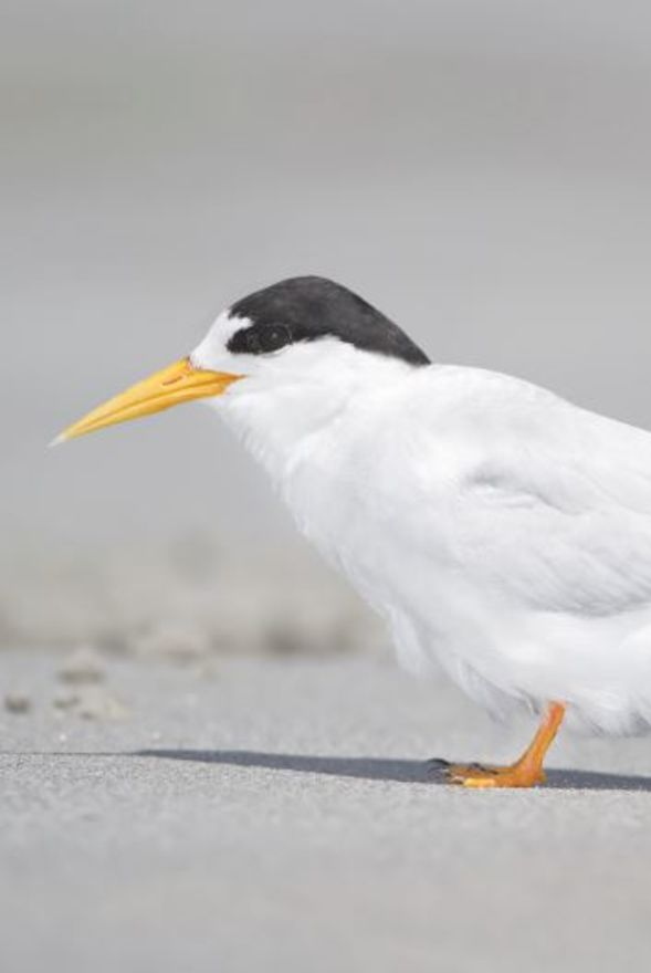Fairy Tern Forum
