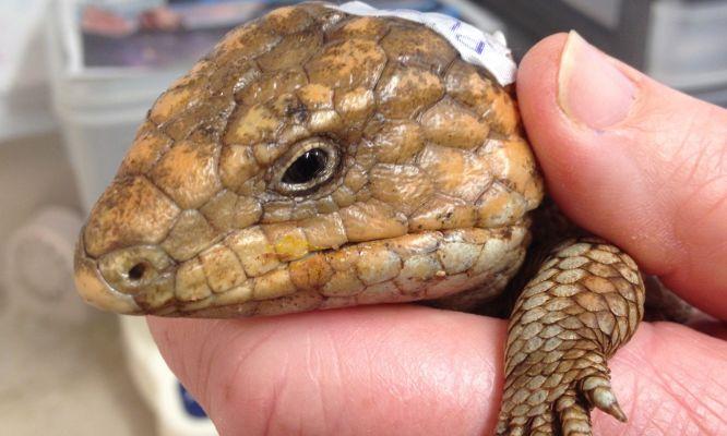 A healthy bobtail lizard