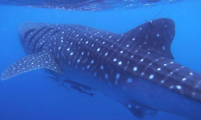 A tagged whale shark.