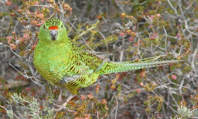 Striving to save WA's rarest bird