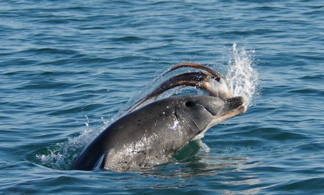 Death-defying Bunbury dolphins chow down on clingy octopus