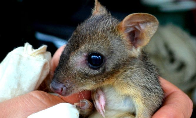 Woylies show resilience to stress under fire