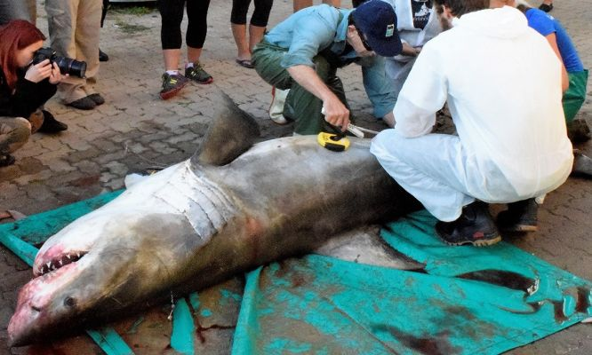 Investigating the death of a great white shark