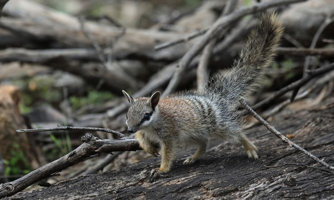 Detector dogs provide hope to save numbats