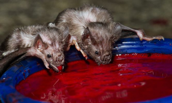 How vampire bats survive on a diet of blood