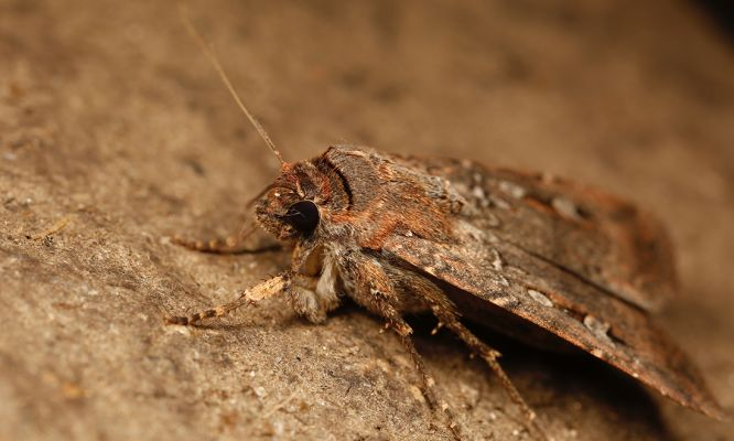 The amazing Australian magnetic moths