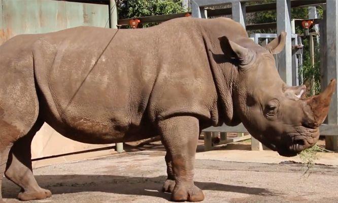 Perth Zoo's southern white rhino, Bakari, in his enclosure