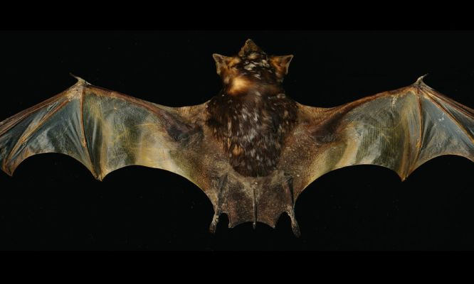 The secret lives of bare-rumped bats