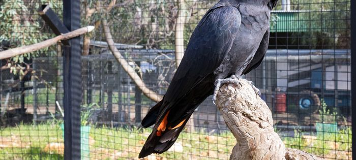 A black cockatoo's journey back to the wild