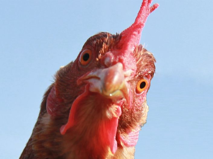 In the margins: facial recognition for organic chickens