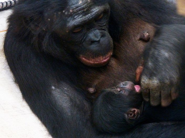 Bonobos support each other while giving birth