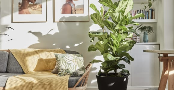 Buy large statement indoor plants online