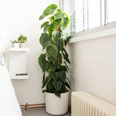 Buy Plants For The Bedroom Online | Patch