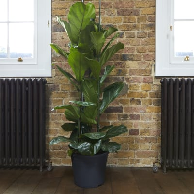 buy indoor house plants online patch - House Plants