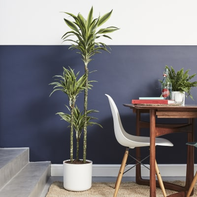 Buy Shade Loving Indoor Plants Online Patch