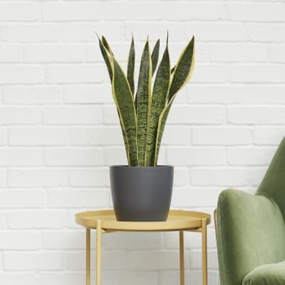 Buy Plants For The Bedroom Online Patch