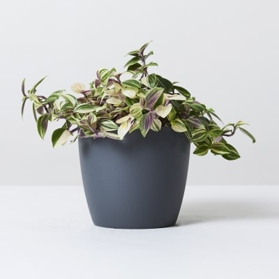12.5cm wide curve-edged pot