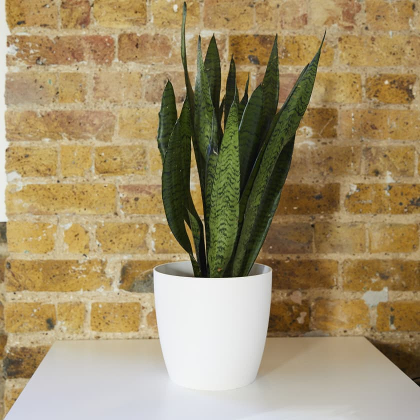 Snake Plant Plants Patch