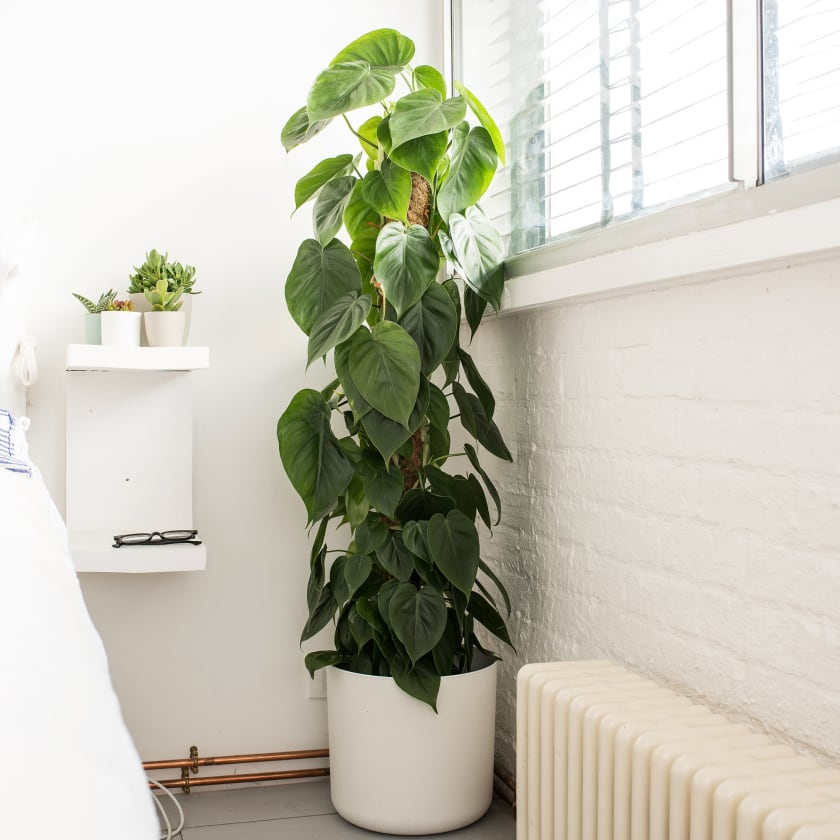 Philodendron Scandens Plants Patch