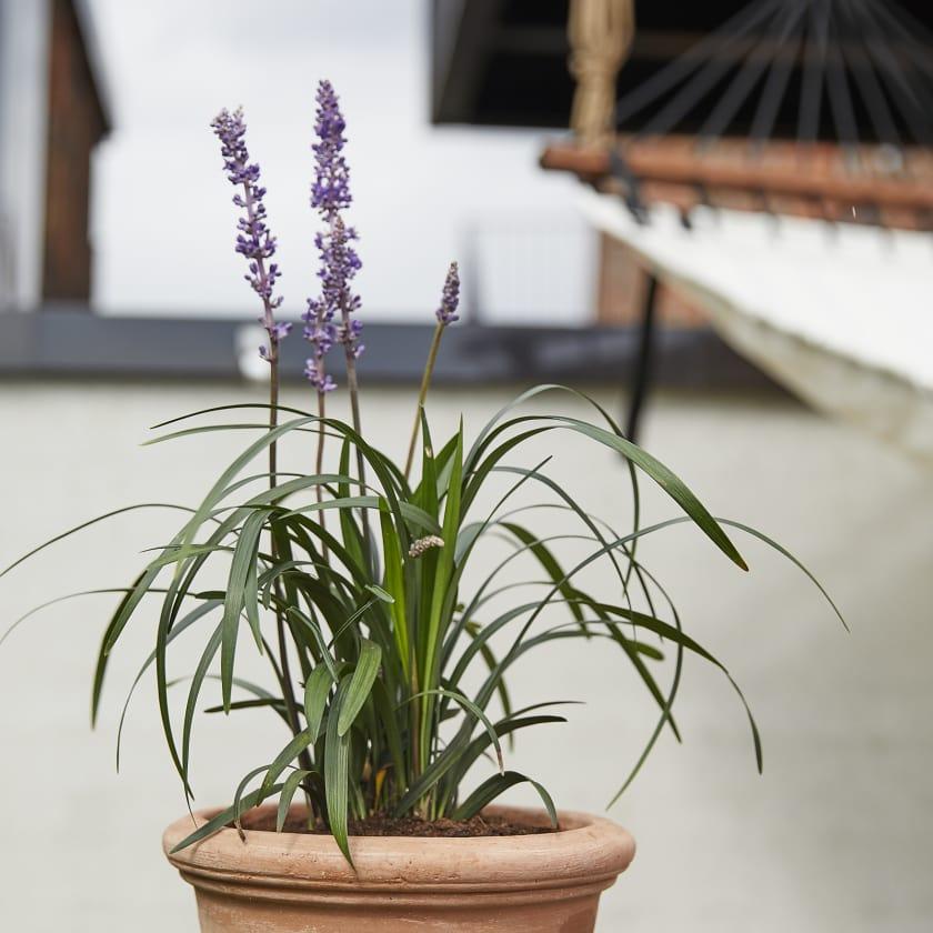 Liriope; Turf lily