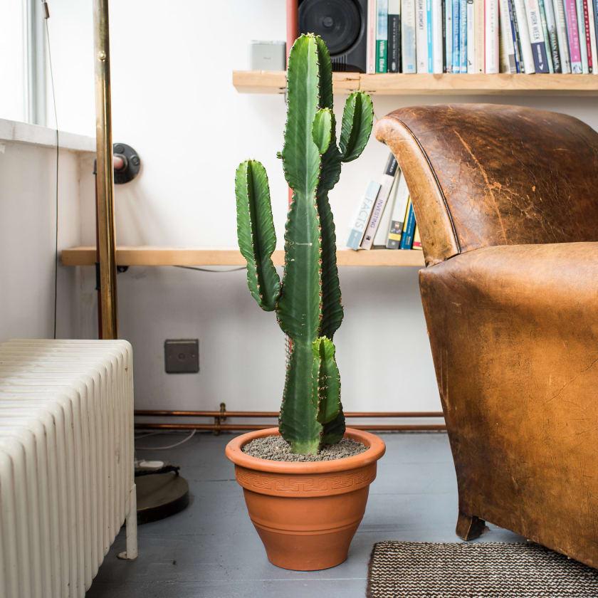 Euphorbia Ingens Plants Patch