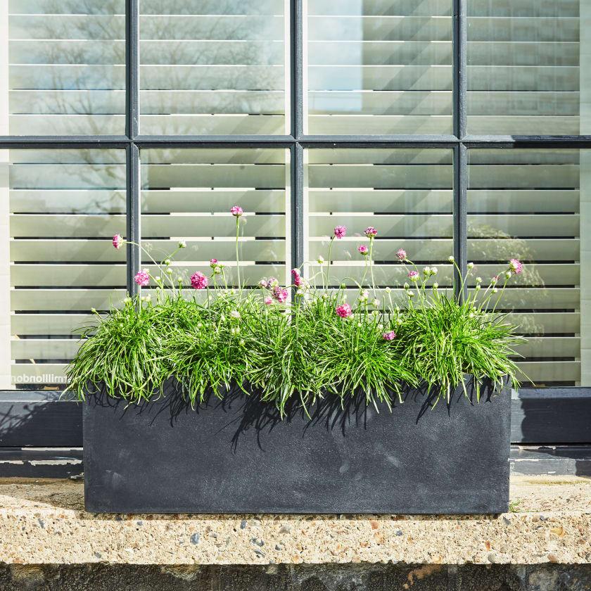 Armeria maritima outdoor plant