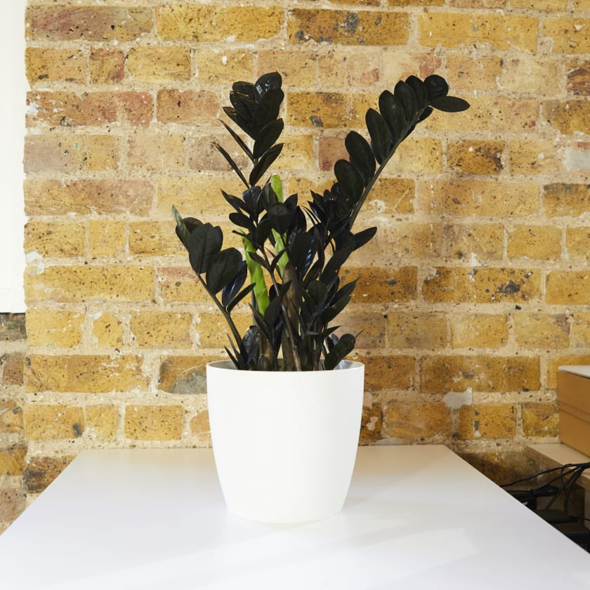 Zamioculcas Raven Plants Patch