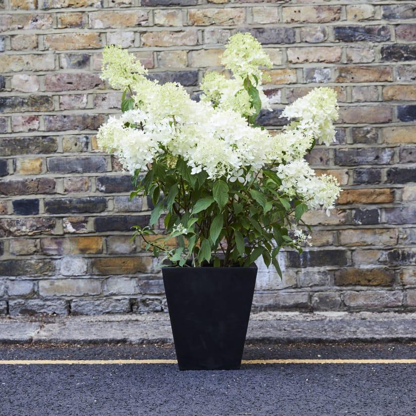 Hydrangea Paniculata; White Hydrangea; Perennial