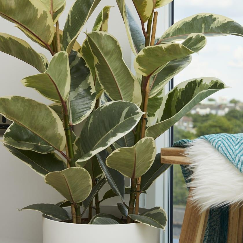 Variegated Rubber Plant Plants Patch