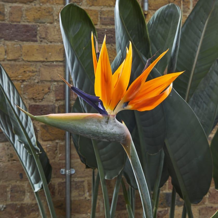 bird of paradise plants patch