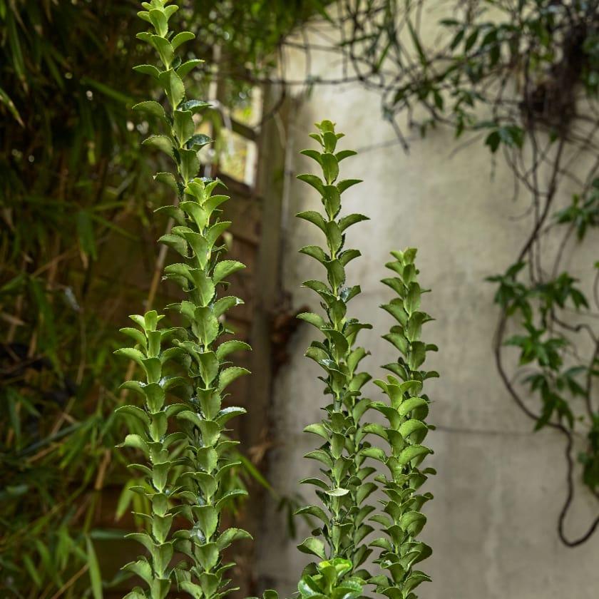 Euonymus Japonicus; Green spider; Evergreen plant