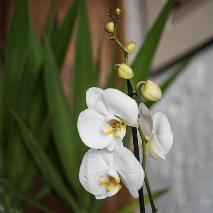 White Orchid Plants Patch