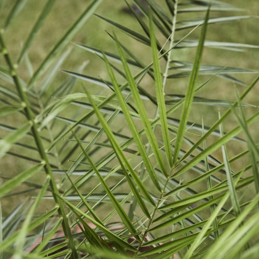 Phoenix Canariensis; Canary Island date palm; Canary date palm