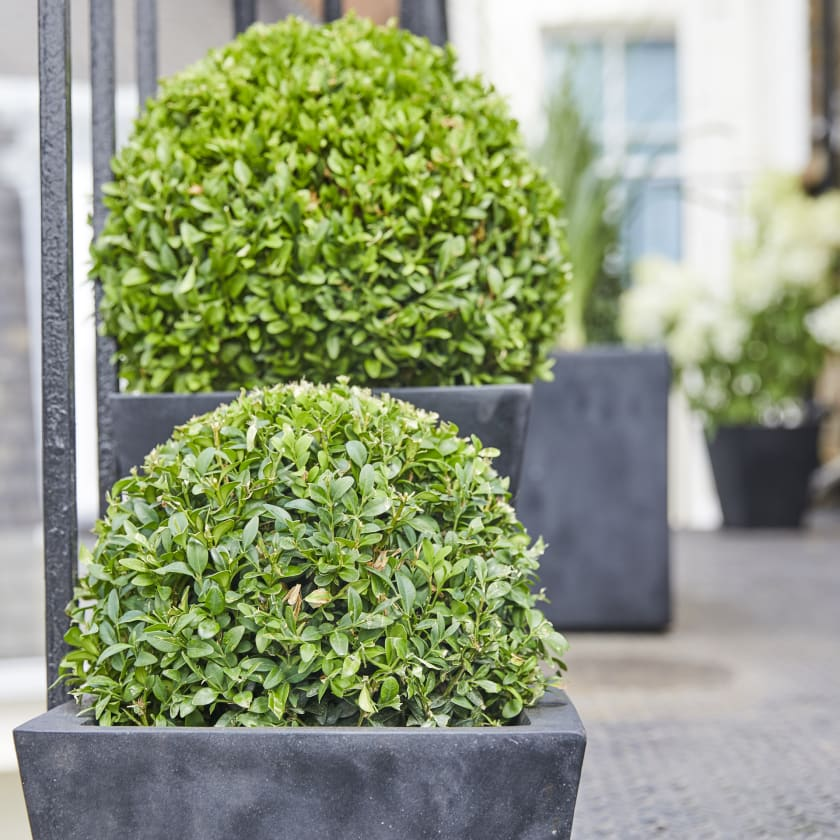 Buxus Ball; Box Ball; Evergreen Box; Common Box
