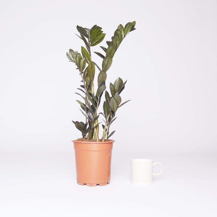 Zamioculcas; ZZ plant; Zanzibar gem; Fern arum